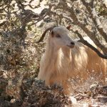 Chèvre d'Agios Theologos